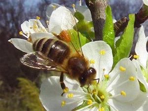 Honigbiene auf Obstblüte