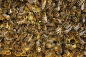 Bienen mit Königin