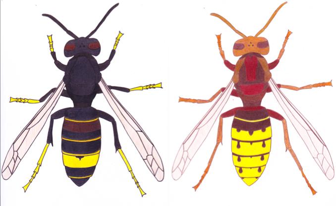 Unterschiede Asiatische Hornisse (Vespa Velutina, links) und einheimische Hornisse (Vespa Crabro, rechts)