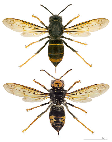 Asiatische Hornisse (Vespa velutina Nigrithorax)
