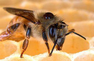 Biene mit Varroamilbe