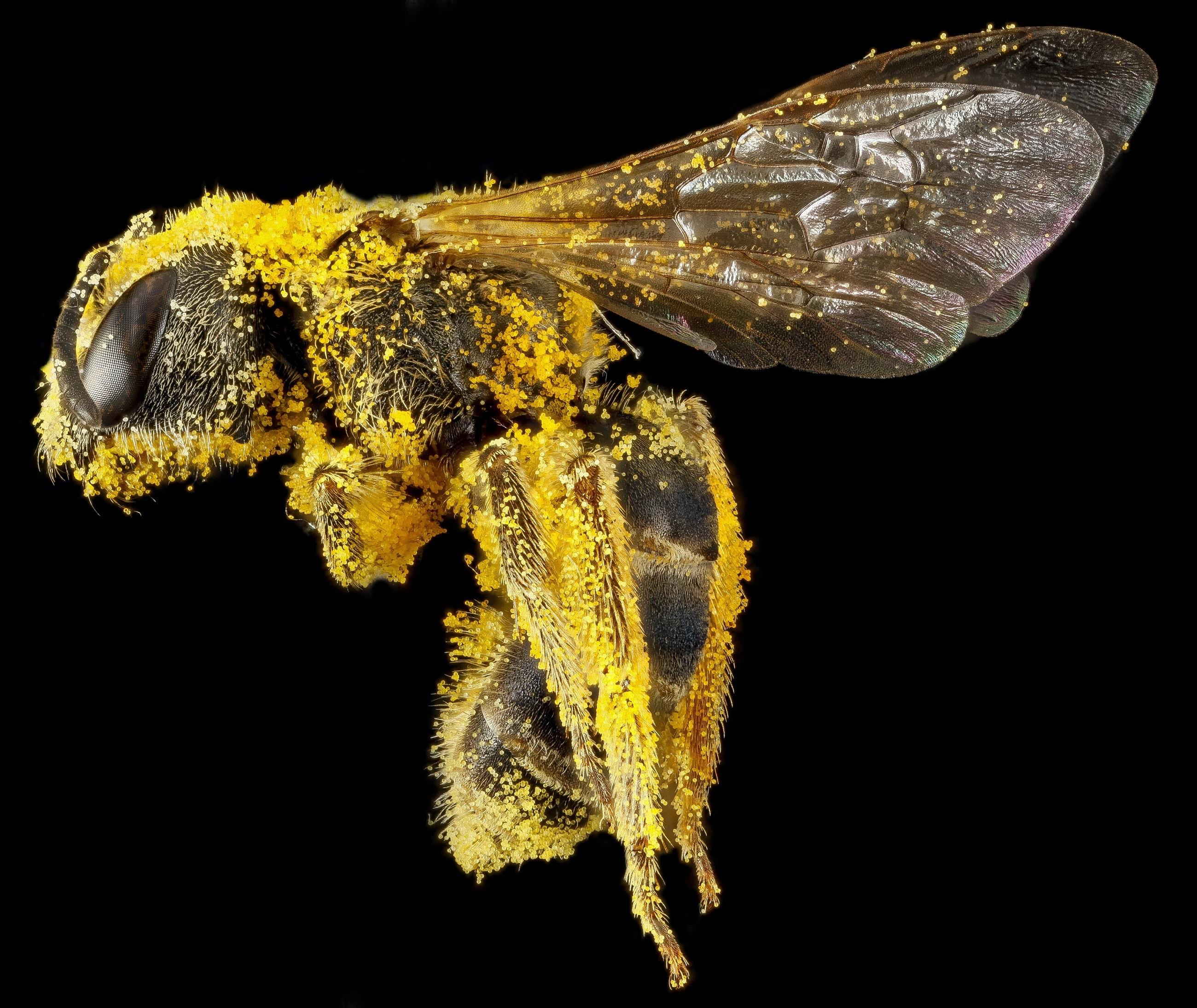 Biene mit Pollenüberzug