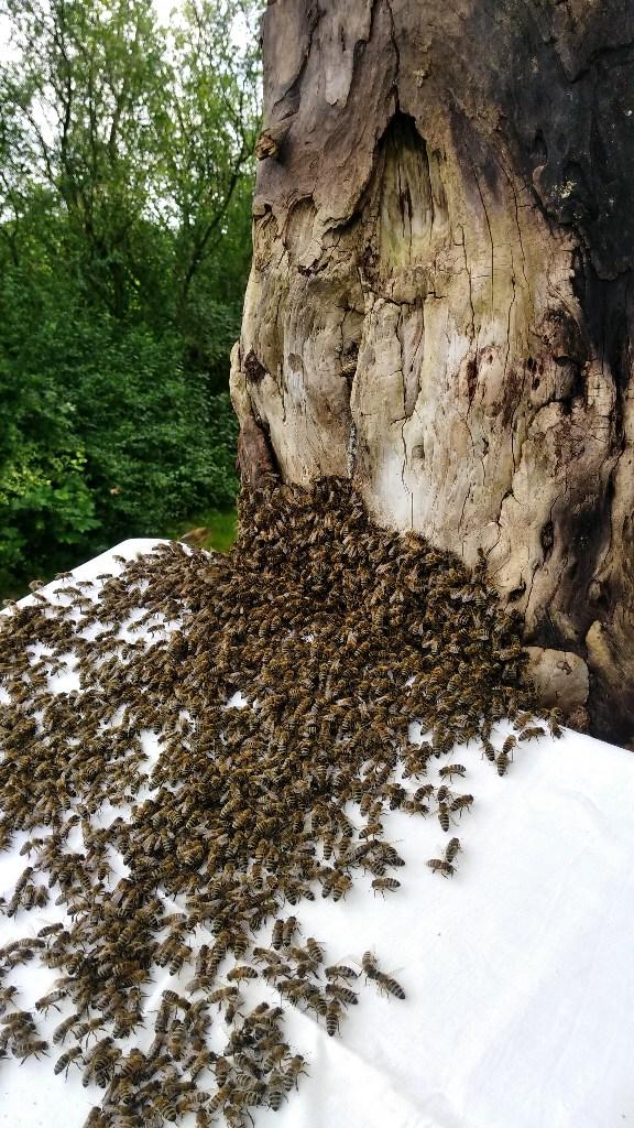 Bienen ziehen in die Klotzbeute ein