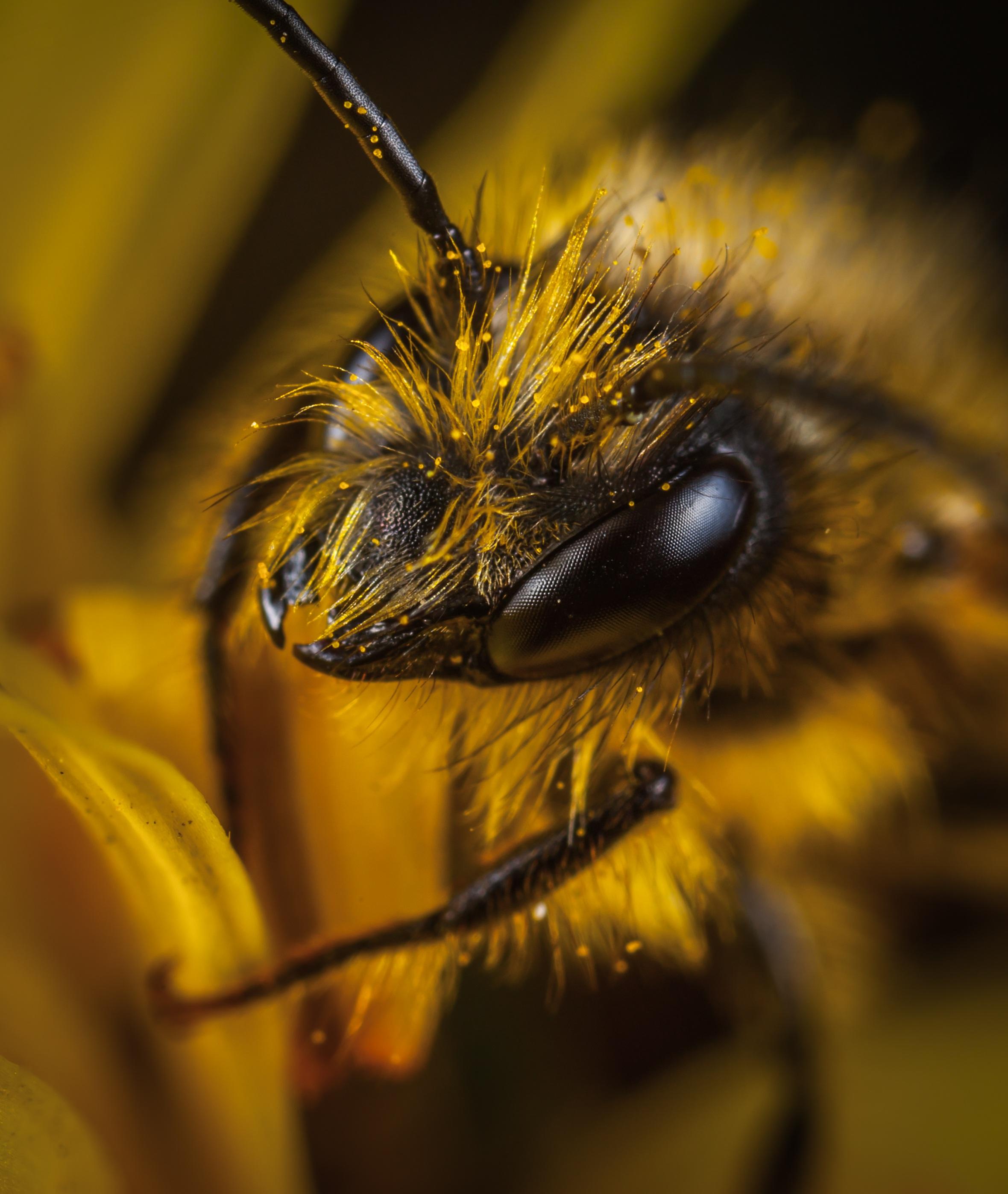 Großaufnahme einer Honigbiene